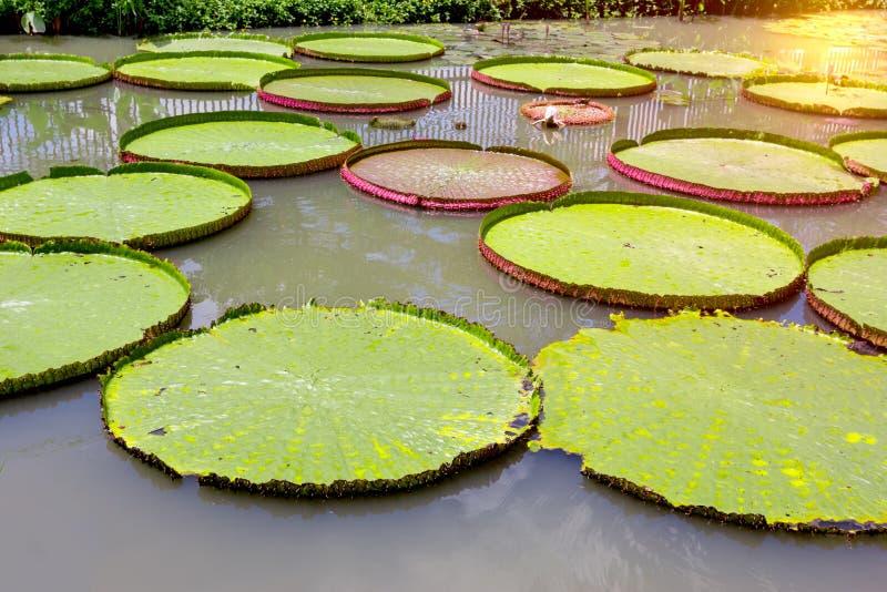 Victoria waterlily dans la piscine, modèle vert de feuilles image libre de droits
