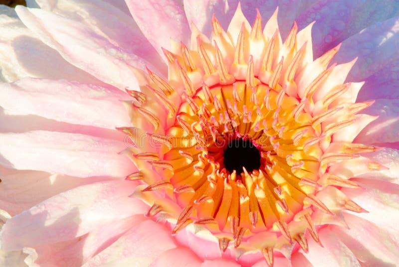 Victoria Waterlily Flower
