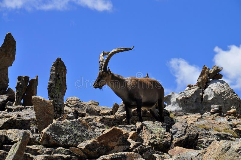 Victoriae del pyrenaica del Capra fotografía de archivo libre de regalías