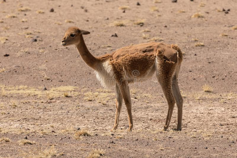Vicuña do altiplano peruano no meio corte fotografia de stock royalty free