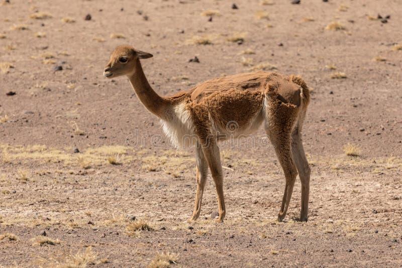 Vicuña vom peruanischen altiplano am halben Scheren lizenzfreie stockfotografie
