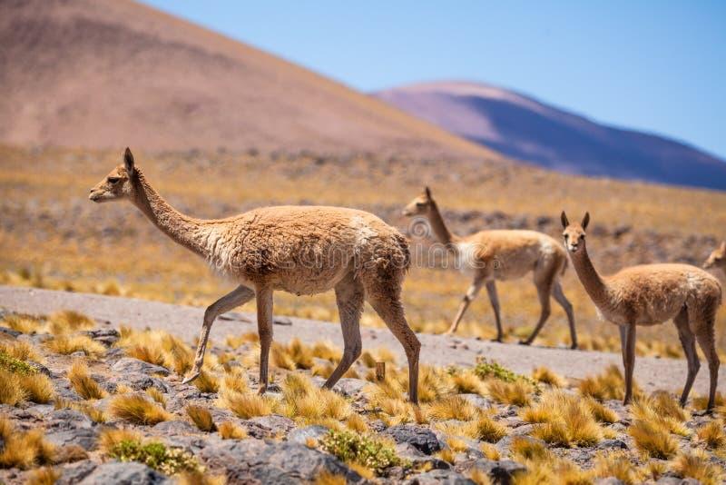 Vicuñas im chilenischen Altiplano lizenzfreie stockfotografie