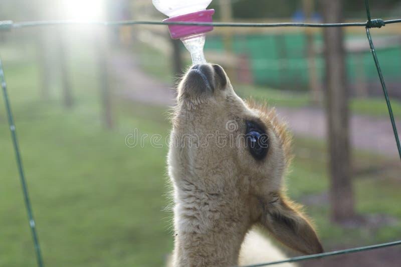 Vicuña andina foto de archivo libre de regalías