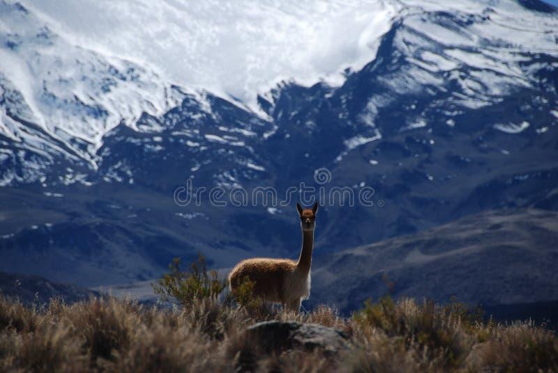 Vicuña in nationaal Park Lauca stock fotografie