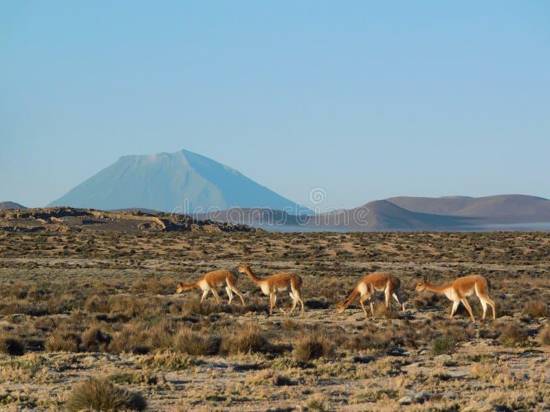Vicuñas in de Peruviaanse Andes stock foto