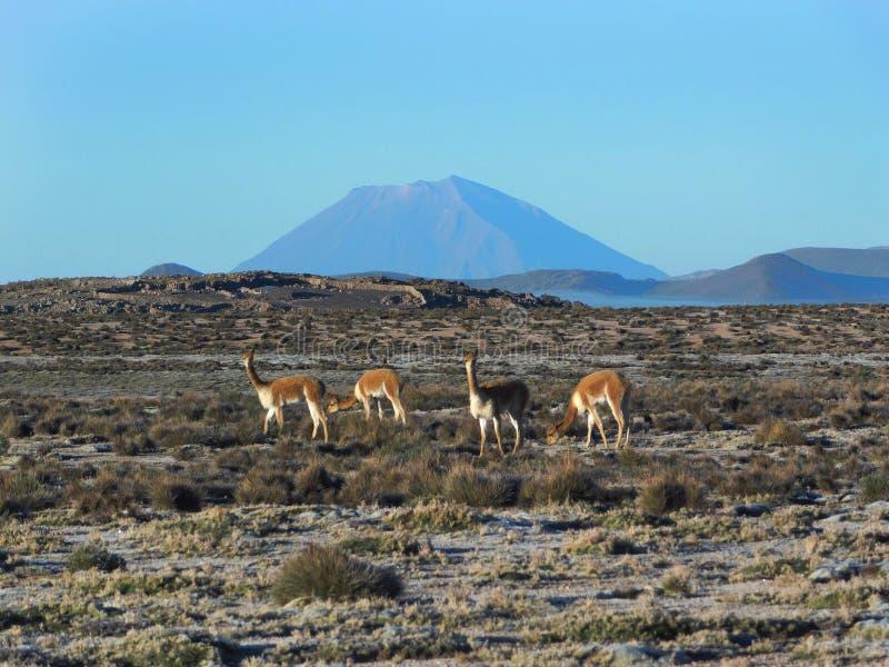 Vicuñas en Misti Volcano imagenes de archivo