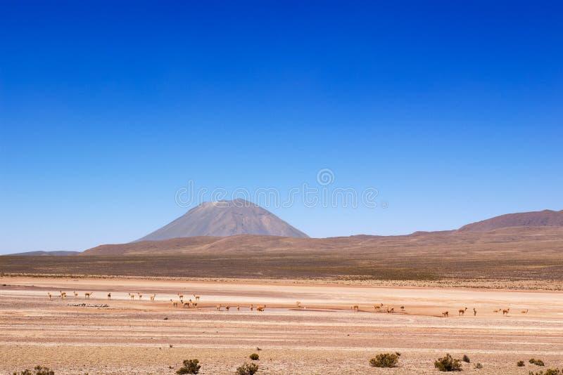 Vicuñas sous le volcan de Misti photo libre de droits