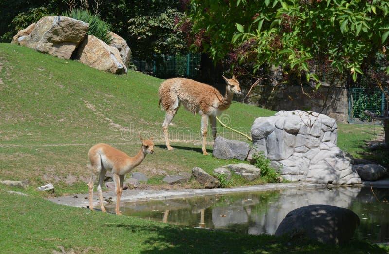 Vicugna e seu bebê no jardim zoológico em Dresden Alemanha fotografia de stock