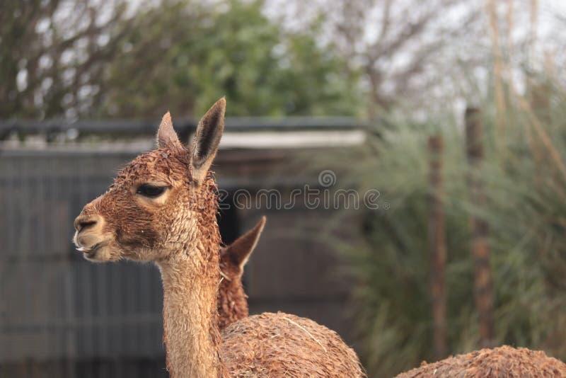 Vicugna Lama Glama, patrzeje wokoło, portreta strzał zdjęcie stock
