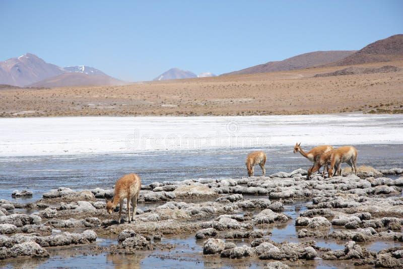 Vicugnas in Altiplano, Andes in Bolivia stock photo