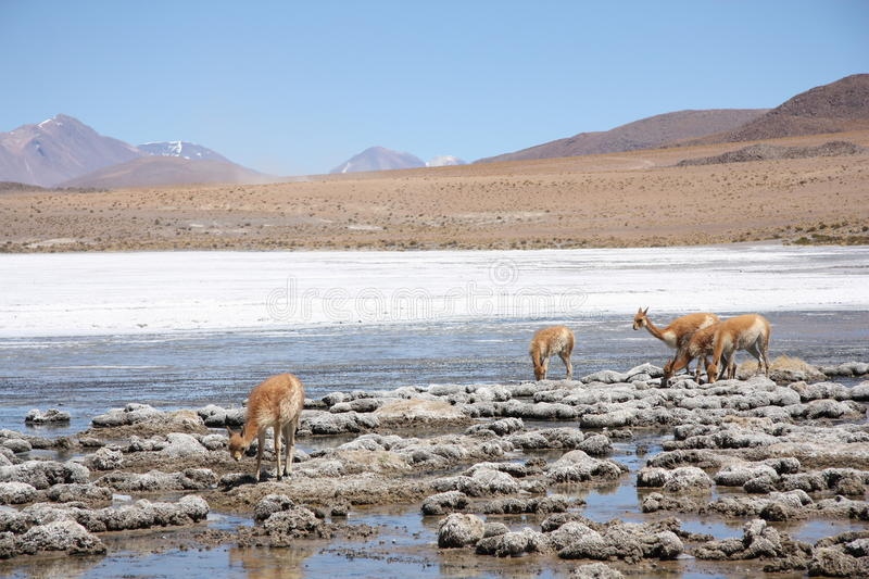 Vicugnas dans Altiplano, les Andes en Bolivie photo stock