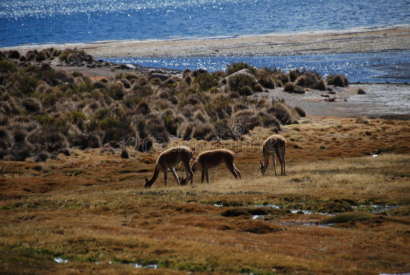 vicugnas in Lauca national Park royalty free stock photo