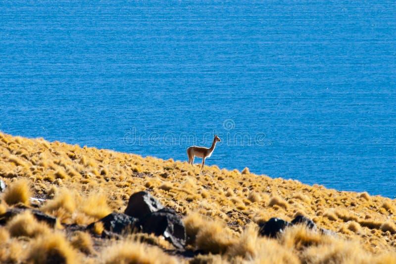 Vicuna in Altiplano stock foto's