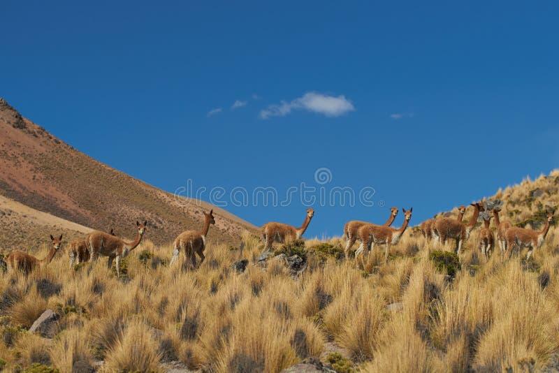 Vicuna in Altiplano stock fotografie