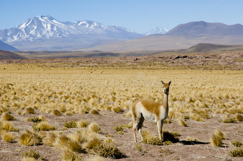 Vicuna in Altiplano - Chili stock foto's