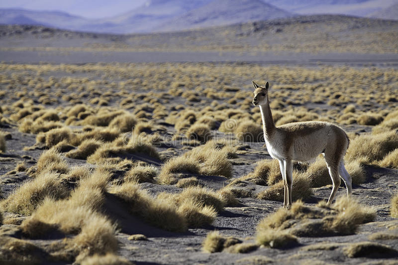 Vicuna ancestor of lama and alpaca in Andes royalty free stock images