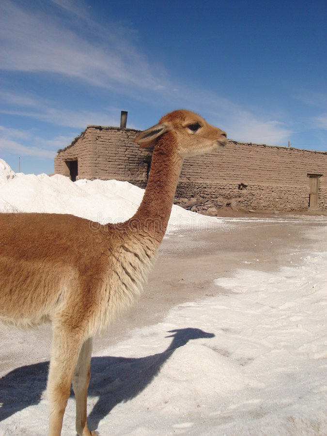 Vicuna in Bolivia stock photo