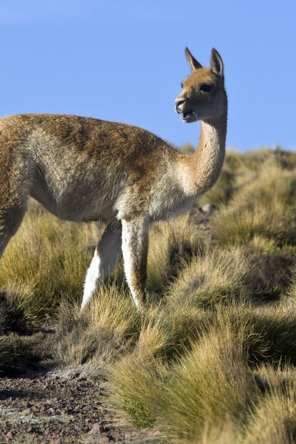 Download Vicuna - Chile stock photo. Image of atacama, desert - 10794670