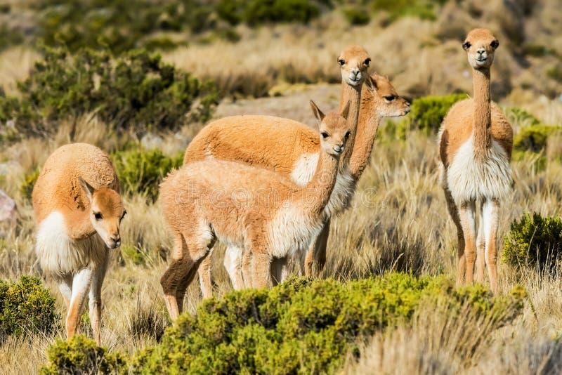 Vicuna de Peruviaanse Andes Arequipa Peru stock afbeelding