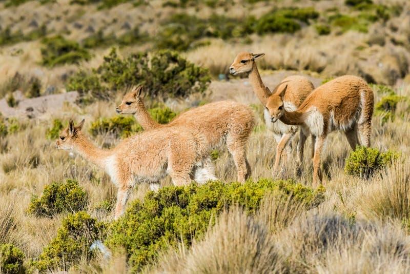 Vicuna in de Peruviaanse Andes Arequipa Peru stock afbeeldingen