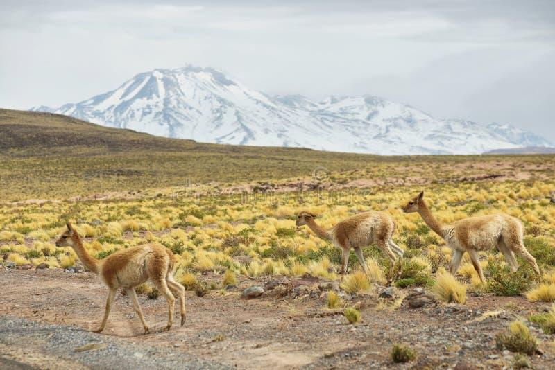 Vicuna in de weiden van Atacama-gebied stock foto