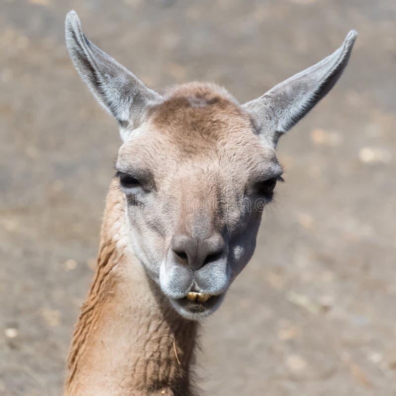 Vicuna, dier royalty-vrije stock afbeeldingen