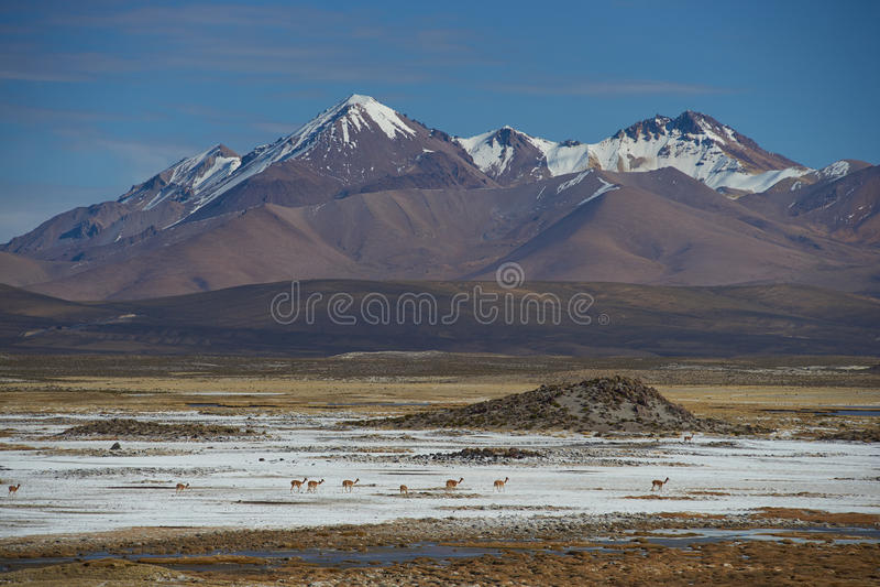 Vicuna op Altiplano stock foto