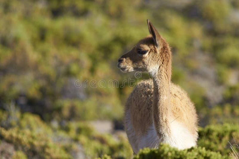 Vicuna op Altiplano, Chili royalty-vrije stock foto