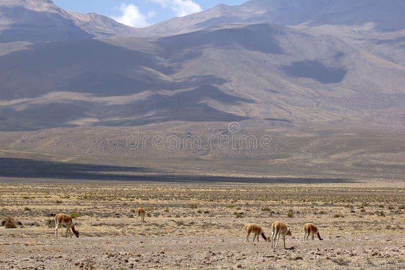 Vicuna in Peru stock afbeelding