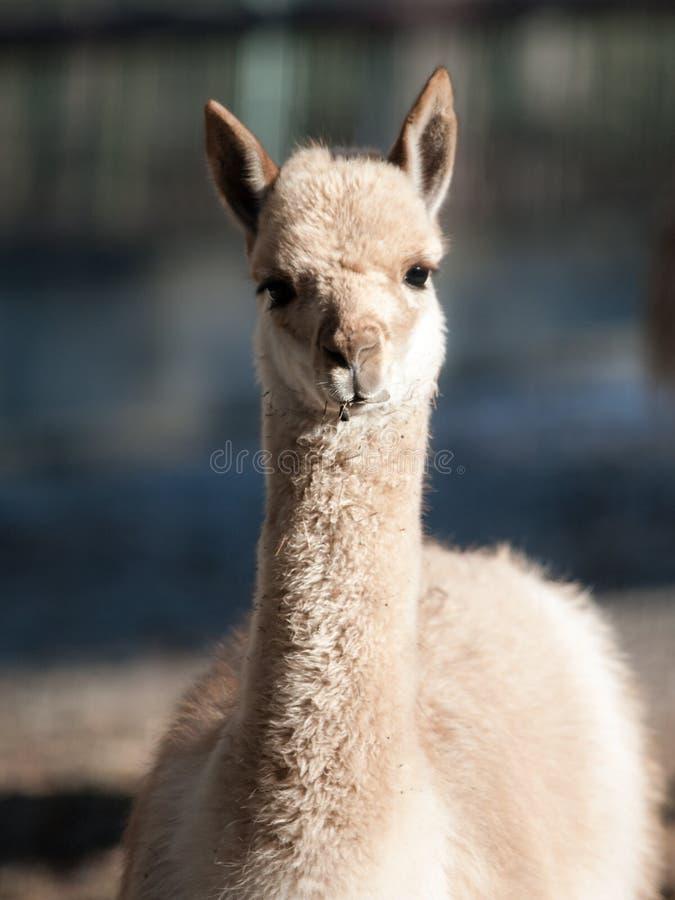 Vicuna - portret dzicy południe - amerykańskiego camelid żywi wysocy andyjscy tereny obrazy royalty free