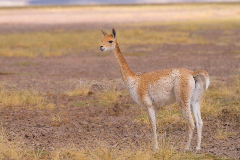 Vicuna (vicugna) de Vicgna Camelid de Ameri sul fotografia de stock