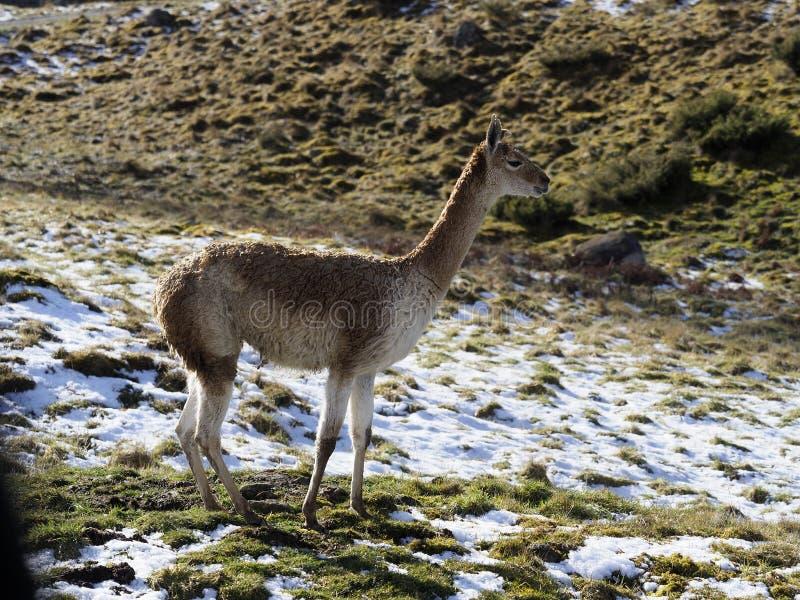 Vicuna, Vicugna-vicugna stock foto