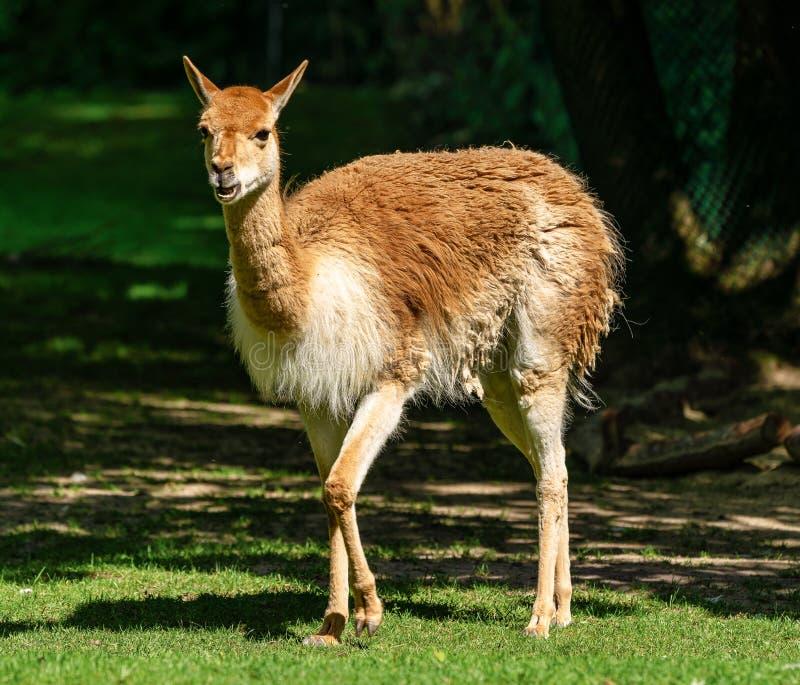 Vicuna, Vicugna Vicugna, verwanten van de lama royalty-vrije stock afbeeldingen
