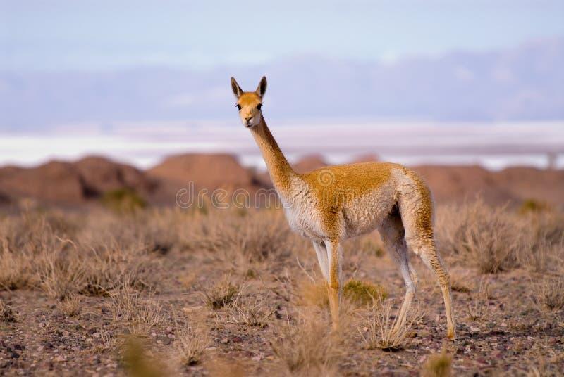 Vicuna (vicugna Vicgna) Camelid van Zuiden Ameri stock foto's