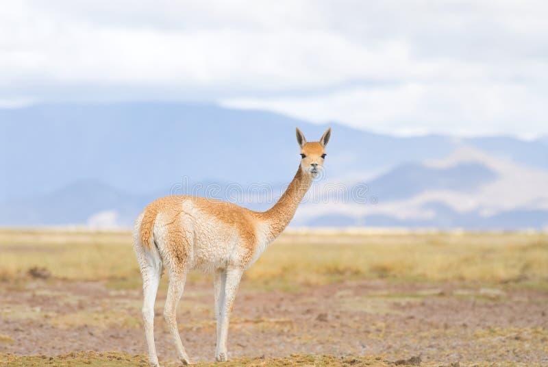 Vicuna (vicugna Vicgna) Camelid van Zuiden Ameri stock afbeeldingen
