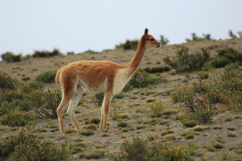 A vicuna, which is a wild lama, in its natural environment stock photo