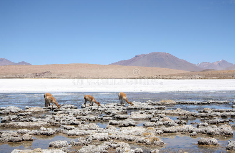 Vicuna of wilde lama's in Atacama-Woestijn, Amerika royalty-vrije stock afbeelding