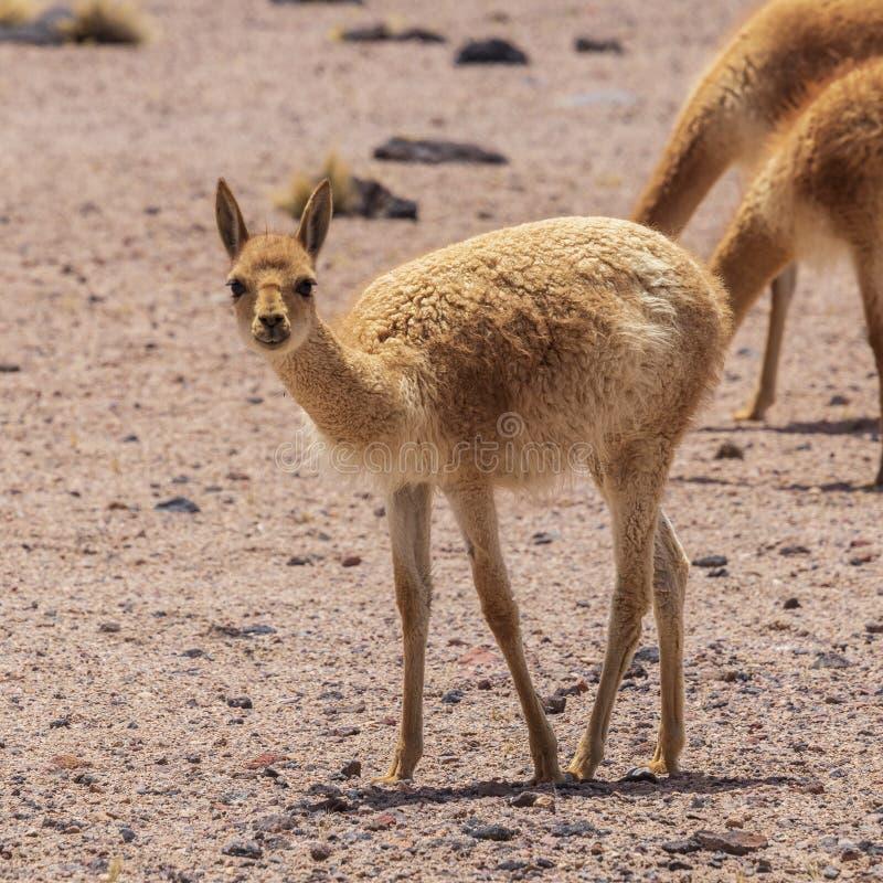 Vicunas at Laguna Miscanti near Atacama desert. royalty free stock photo