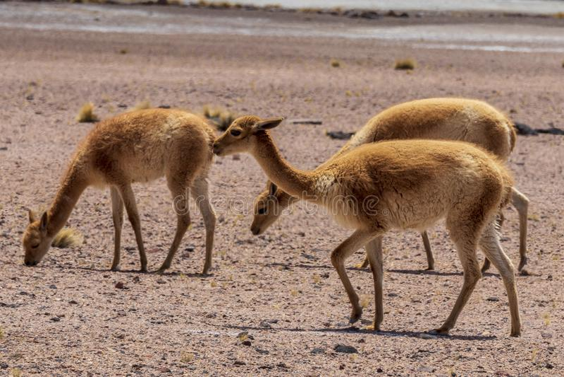 Vicunas at Laguna Miscanti near Atacama desert. royalty free stock photos
