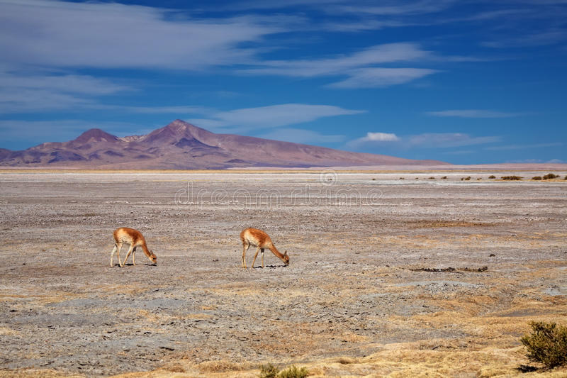Vicunas no Salar de Tara, o Chile fotografia de stock royalty free