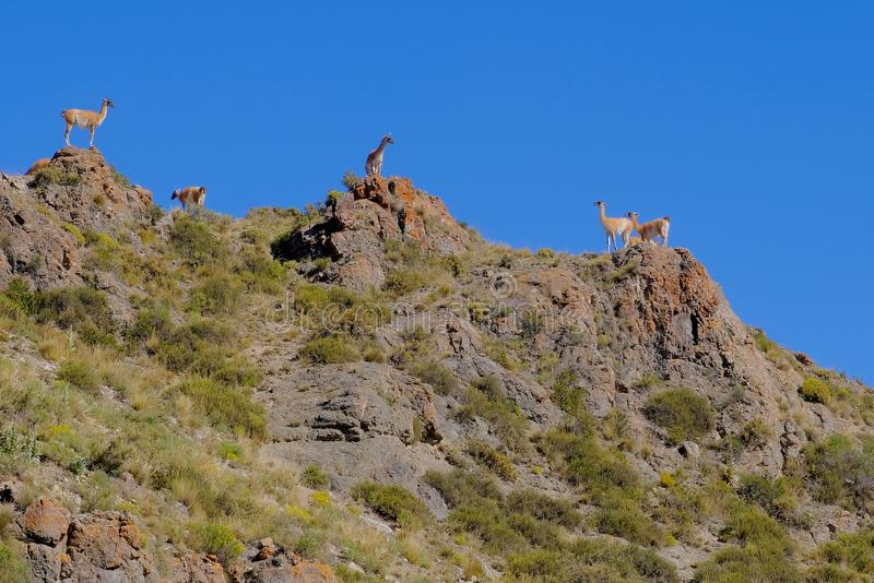 Vicunas, Vicugna Vicugna, relatives of the llama, standing on a hill in the andes, Uspallata, Mendoza, Argentina royalty free stock photo