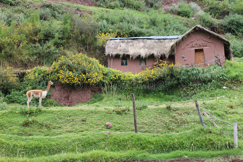 Vicunja-Lama in Peru stockfotografie