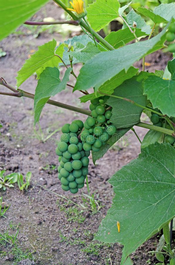 Vid con un manojo de uvas en verano fotografía de archivo