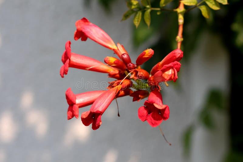 Vid de trompeta o planta de florecimiento de los radicans de Campsis con las flores abiertas múltiples que emergen de naranja ter imágenes de archivo libres de regalías