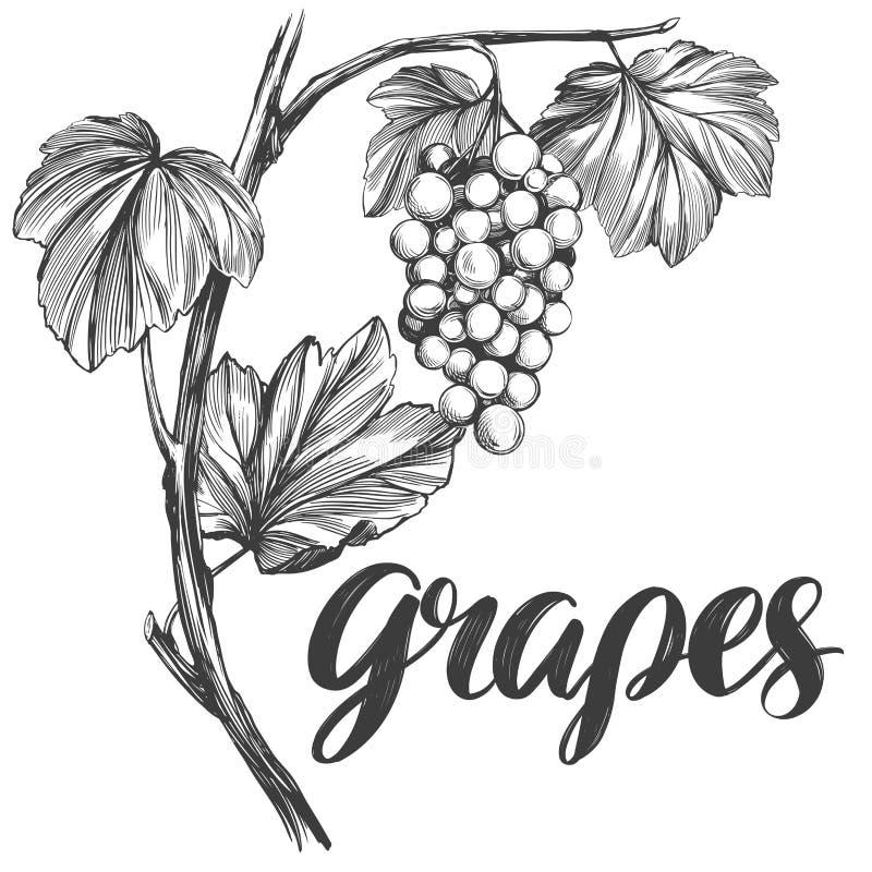 Vid de uva, uva, bosquejo realista dibujado del ejemplo del vector de la mano de texto de la caligrafía stock de ilustración