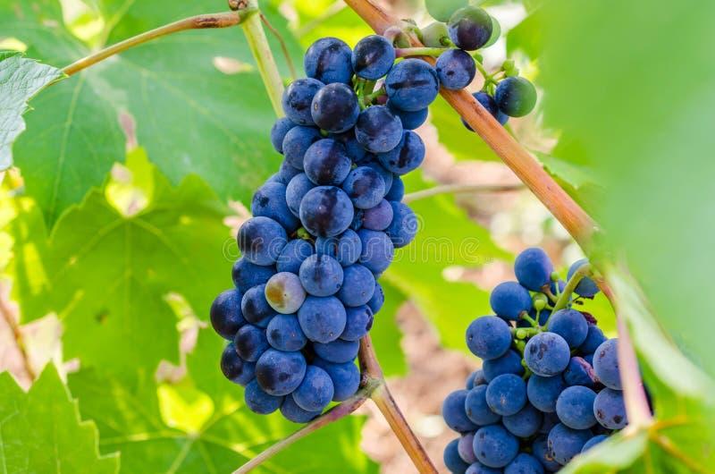 Vid de uva de Chianti imagenes de archivo