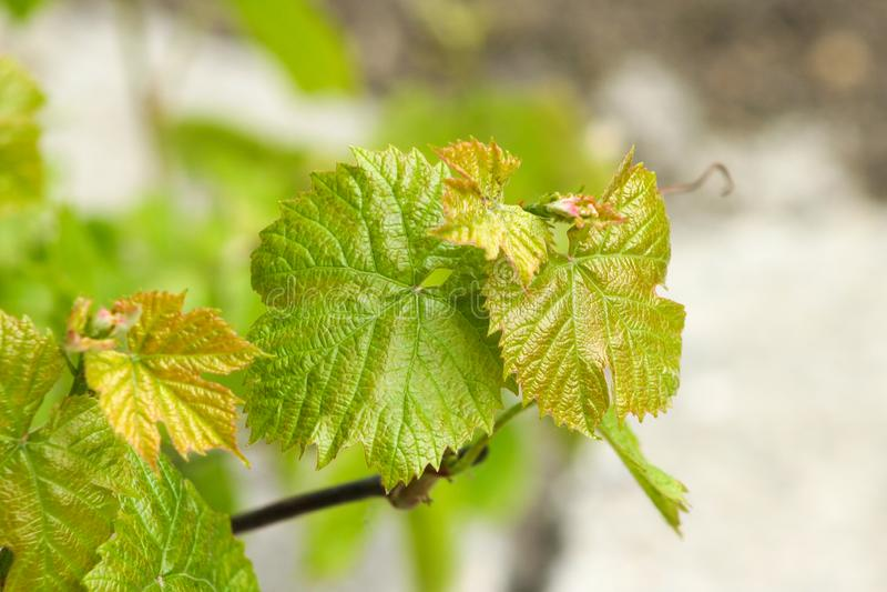Vid de uvas verde fresca fotos de archivo