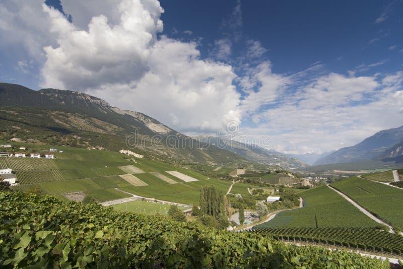 Vid en las cuestas del valle de Rhone en Valais, Suiza imágenes de archivo libres de regalías