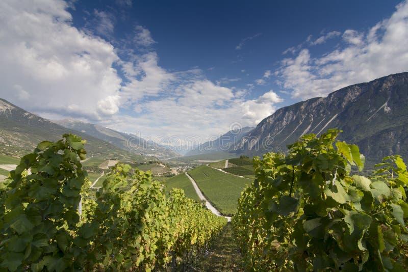 Vid en las cuestas del valle de Rhone en Valais, Suiza fotografía de archivo libre de regalías