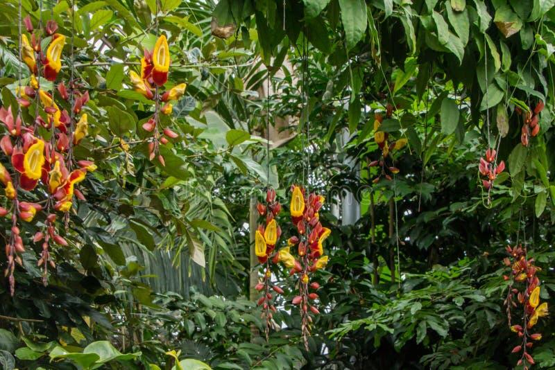 Vid india floreciente colgante subtropical del reloj imágenes de archivo libres de regalías